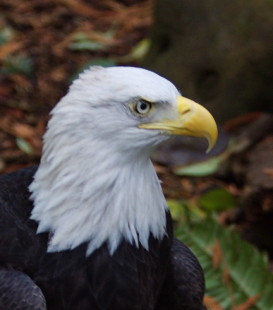 Rusty, the American Bald Eagle