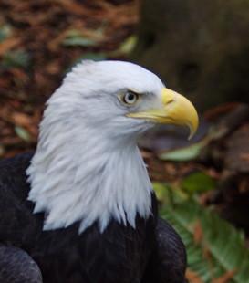 Rusty, the American Bald Eagle