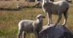 Rambouilet lambs