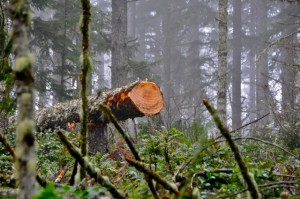 Clear cutting and thinning are important tools to forest management