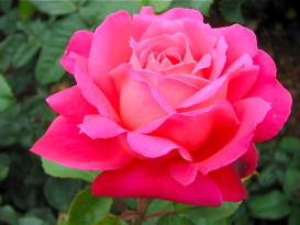 Rose from Heirloom Rose Garden