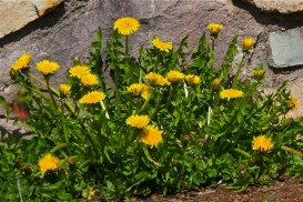Dandelions at Glide Oregon, Douglas County