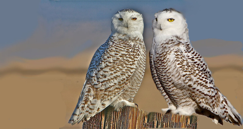 YOUNG SNOWY OWLS