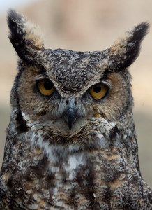 A Great Horned Owl is one of the most ferocious and successful predators in the desert sky; photo by Bing Bingham
