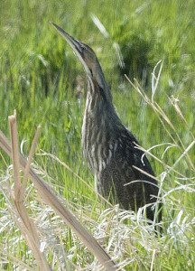 """A bittern, beak pointed to the sky pretending to be a swamp reed and a dry clump of grass"": photo by Larry D. Rea"
