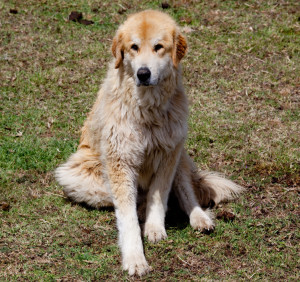 Clover guard dog; photo by Bing Bingham