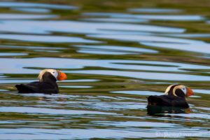 Tufted puffin in breeding plumage; photo by Captain Ken Rea.
