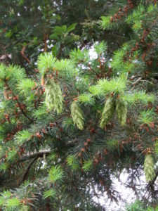 New Douglas fir cones.