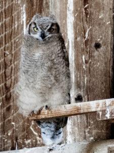 bird immature Great Horned Owl near Summer Lake, Lake County