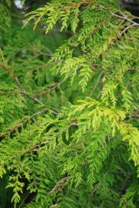 Western red cedar.